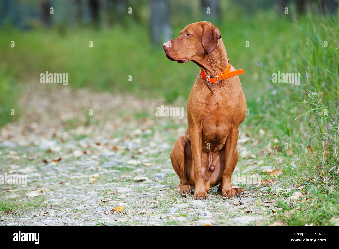 sitting obedient dog Stock Photo