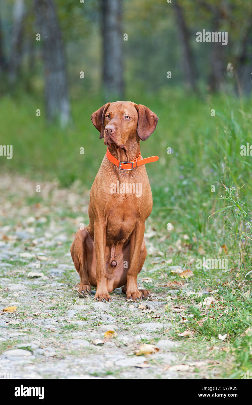 dog obedience training sit - Stock Image