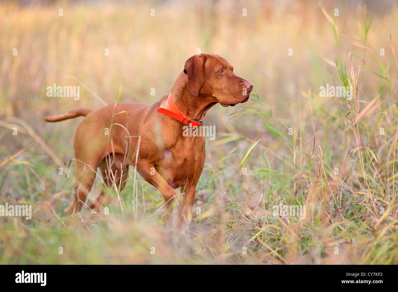 hunting dog pointing in field - Stock Image