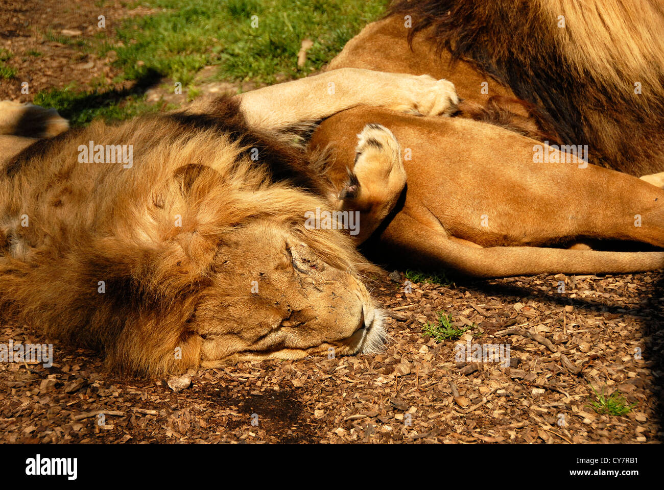 African Lions - Stock Image