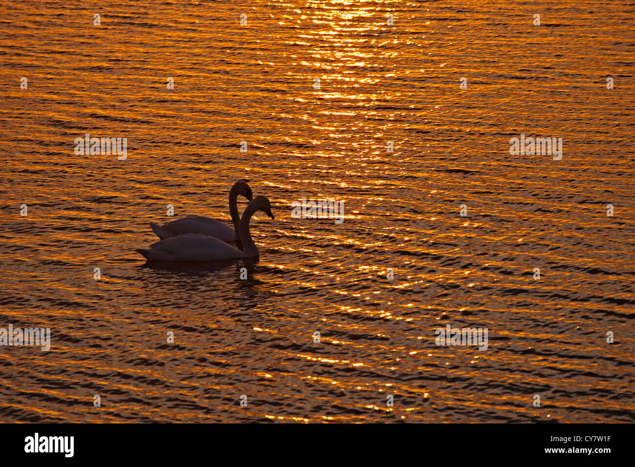 A couple of swans over the sunset at sea Stock Photo