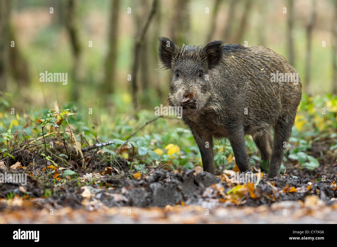 Portrait of a Wild Boar (Sus Scrofa) in autumn wood among the undergrowth in the Forest of Dean, Gloucestershire, - Stock Image