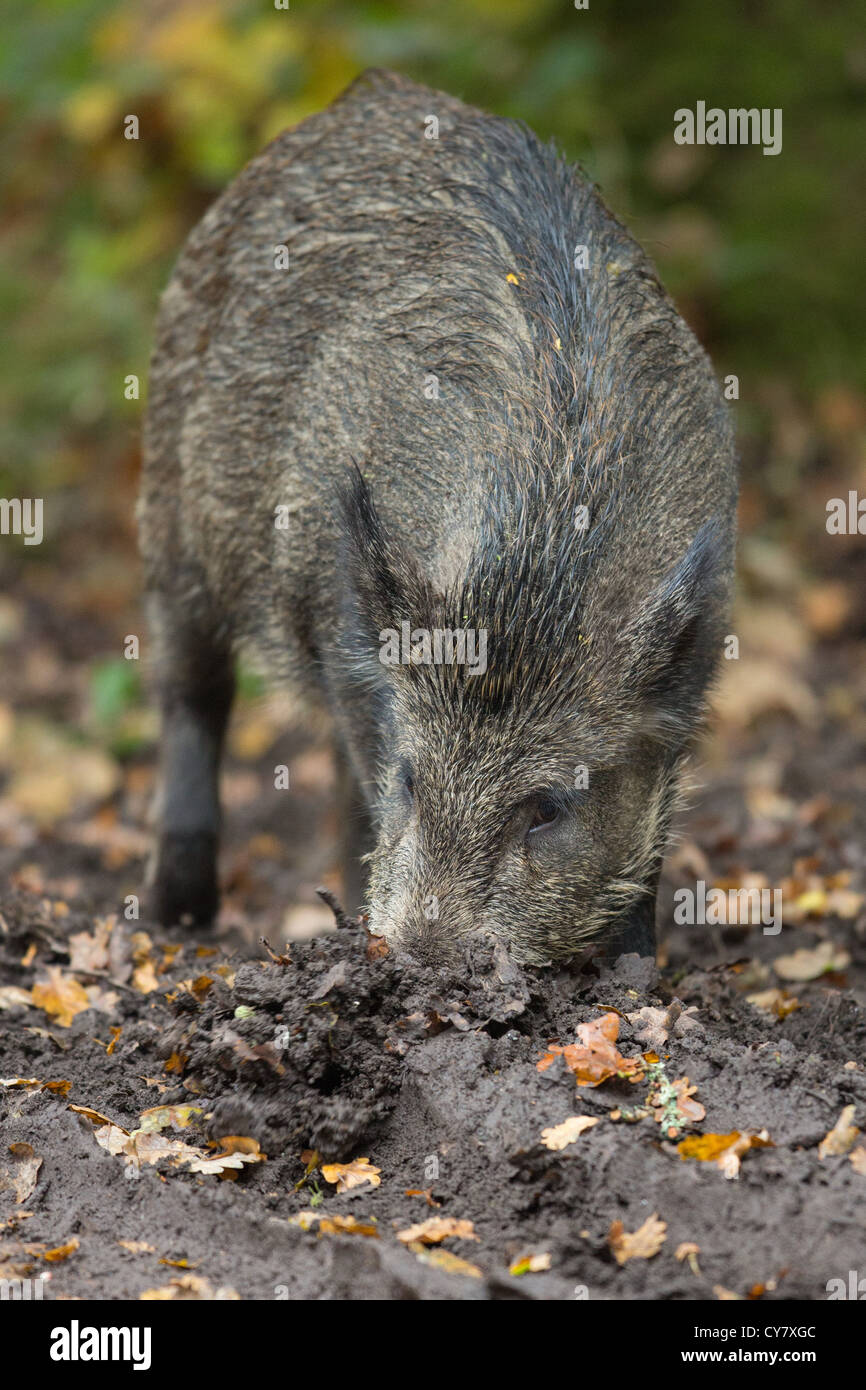 Wild Boar (Sus Scrofa) rooting for food in an autumn wood in the Forest of Dean, Gloucestershire, UK - Stock Image