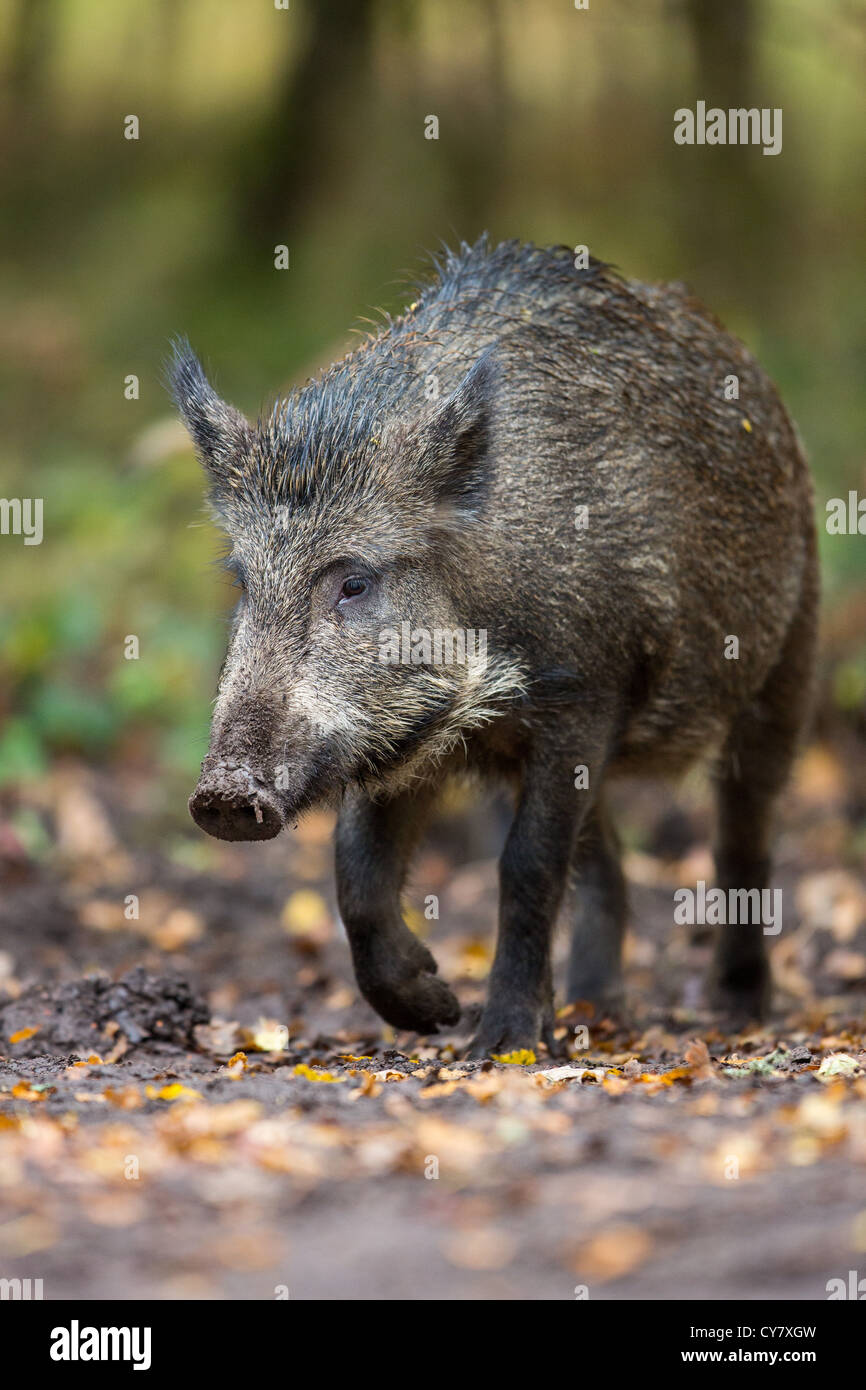 Wild Boar (Sus Scrofa) roaming free walking through an autumn wood in the Forest of Dean, Gloucestershire, UK - Stock Image