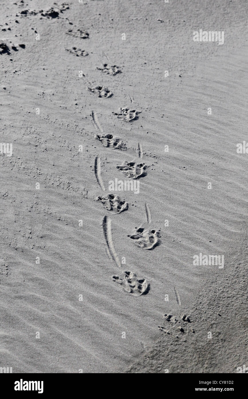 Footprints in beach sand of yellow-eyed penguin, (Megadyptes antipodes), on the Otago Peninsula, South Island, New - Stock Image