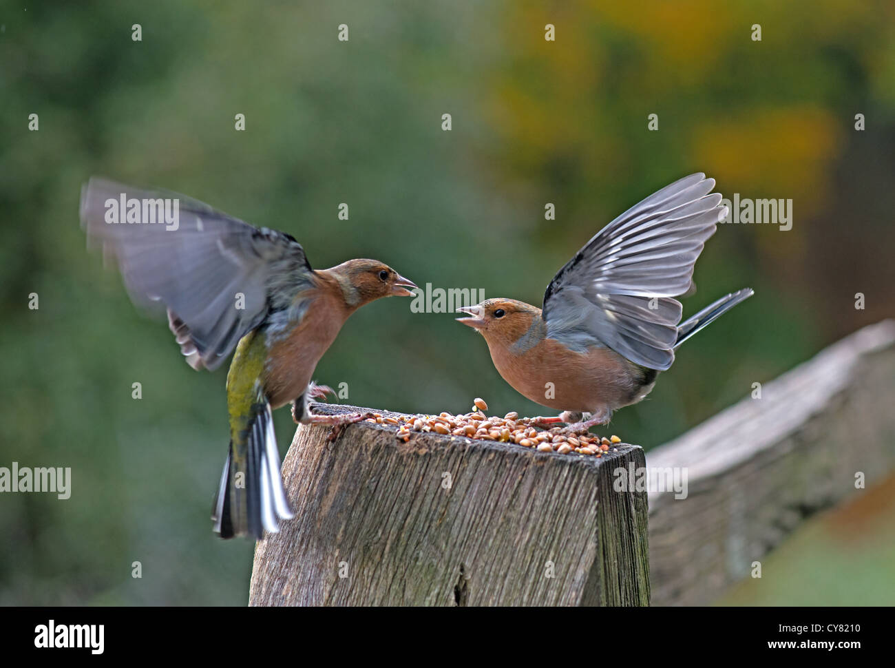 PAIR OF MALE CHAFFINCHES Fringilla coelebs FIGHTING OVER FOOD. UK - Stock Image