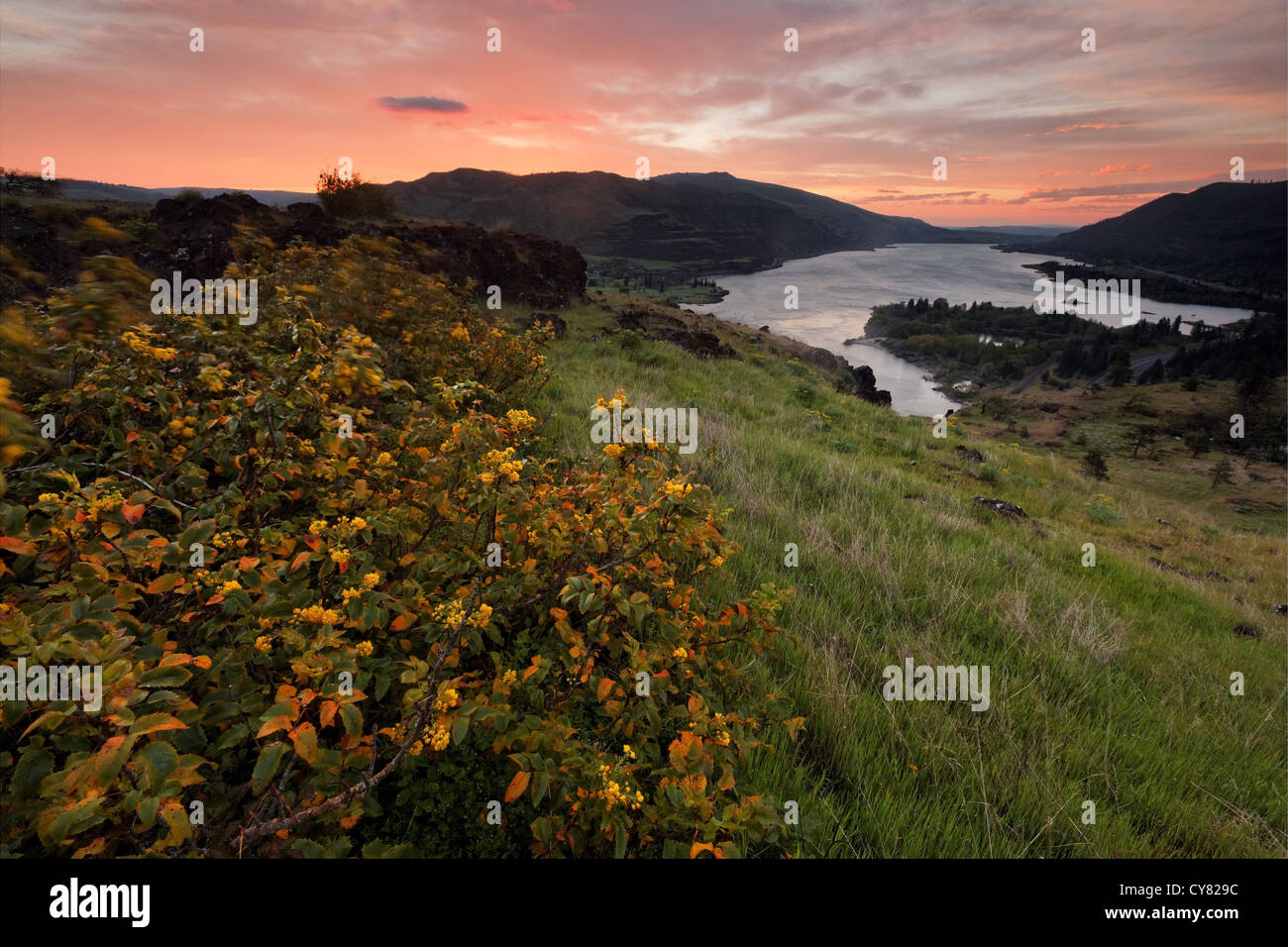 Sun rises over the Columbia River and Oregon Grape on the Rowena Plateau, Tom McCall Wildflower Preserve, Rowena, - Stock Image