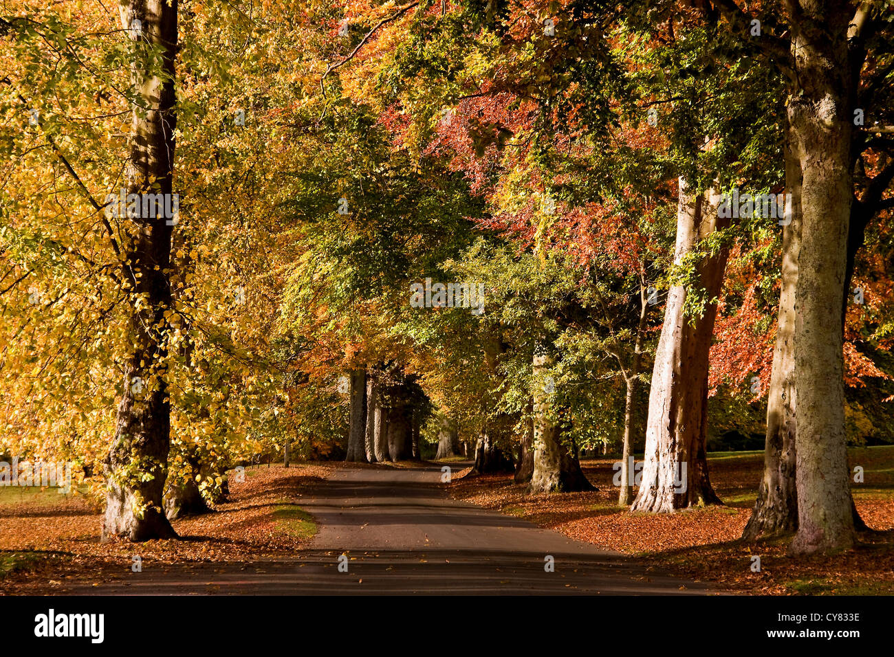 Avenue of trees with Autumn colours at the Camperdown country park in Dundee,UK Stock Photo