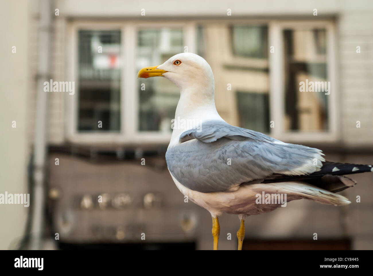 seagull on land - Stock Image