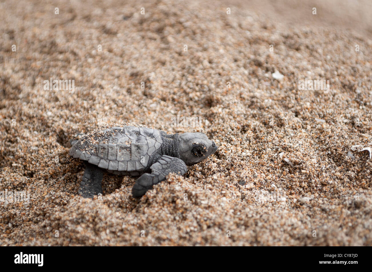 Olive Ridley sea turtle (Lepidochelys olivacea) hatchling - Stock Image