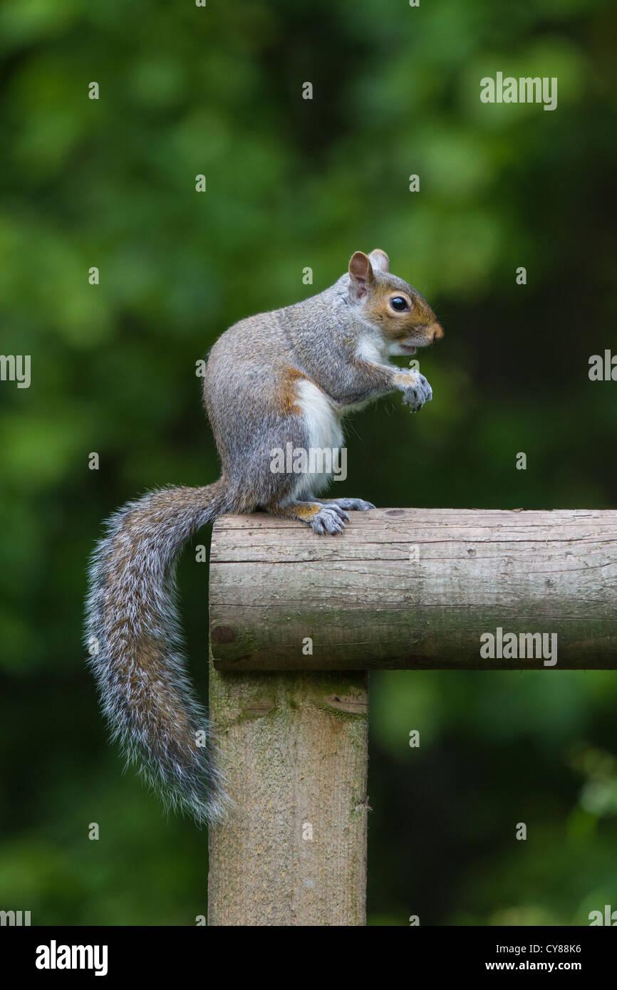 Grey Squirrel (Sciurus carolinensis) sitting upright, Cambridgeshire - Stock Image