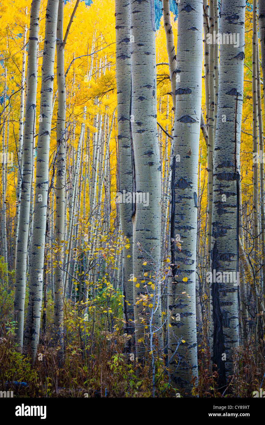 Aspens grove in the San Juan mountains of Colorado - Stock Image