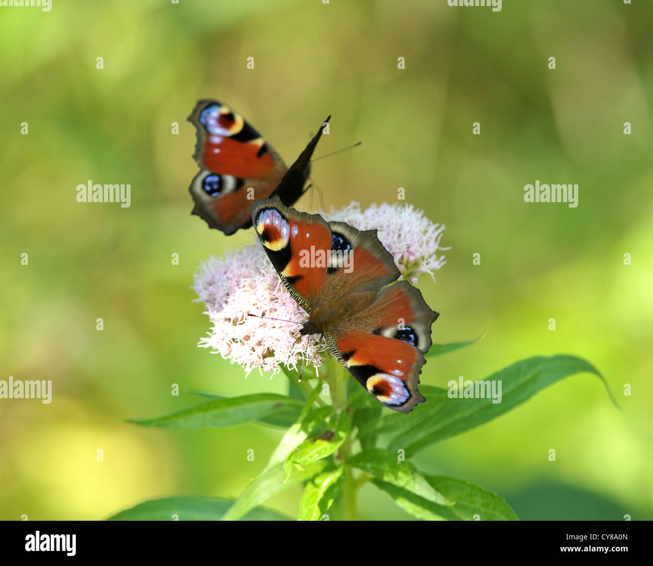 Two Peacock butterflies feeding Inachis io - Stock Image