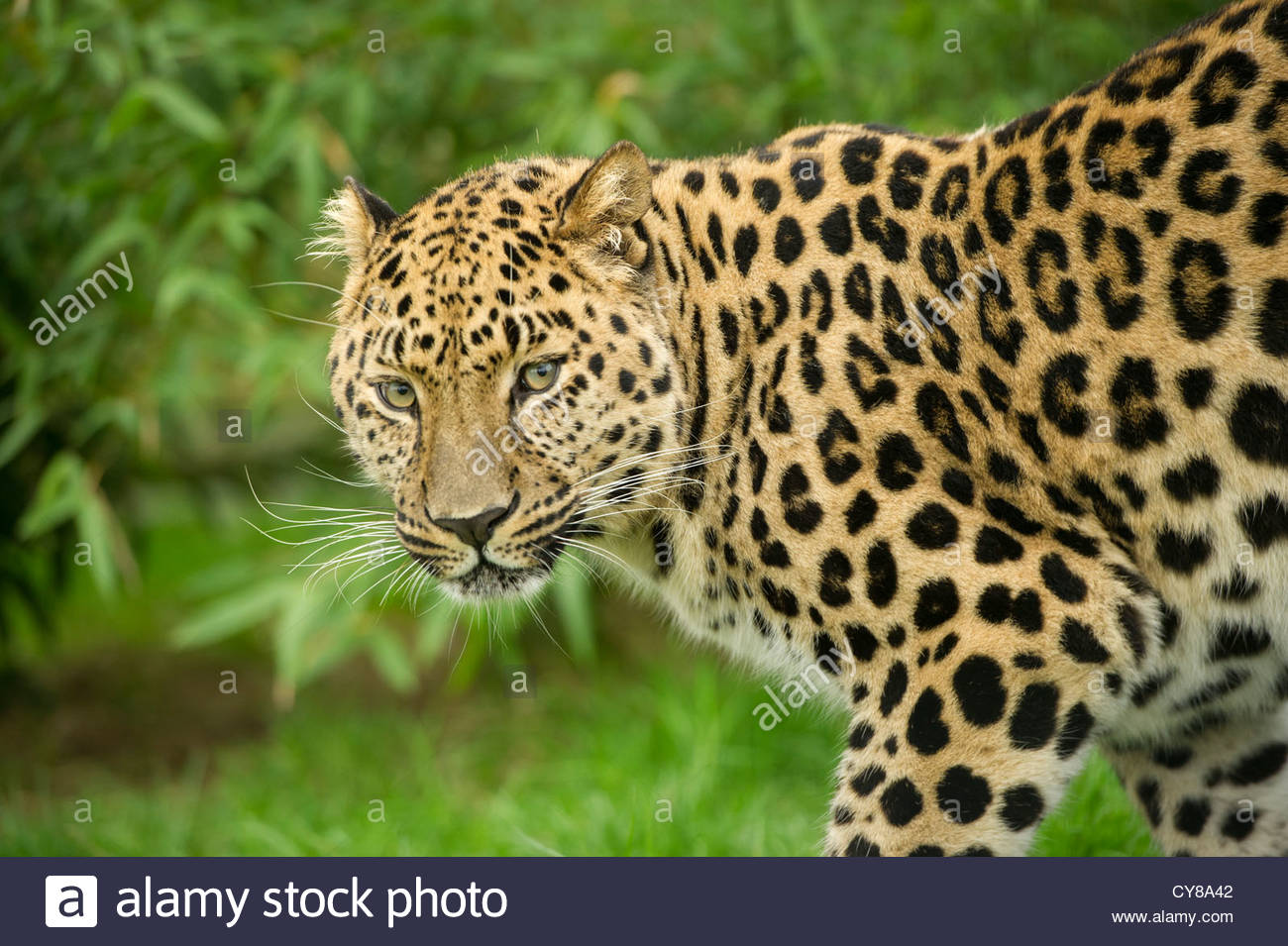 Amur leopard looking at viewer. - Stock Image
