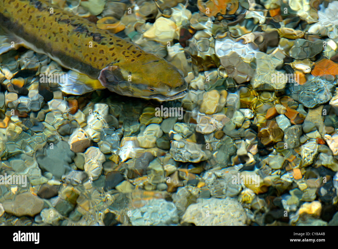 A close up image of a chum salmon swimming on a spawning bed - Stock Image