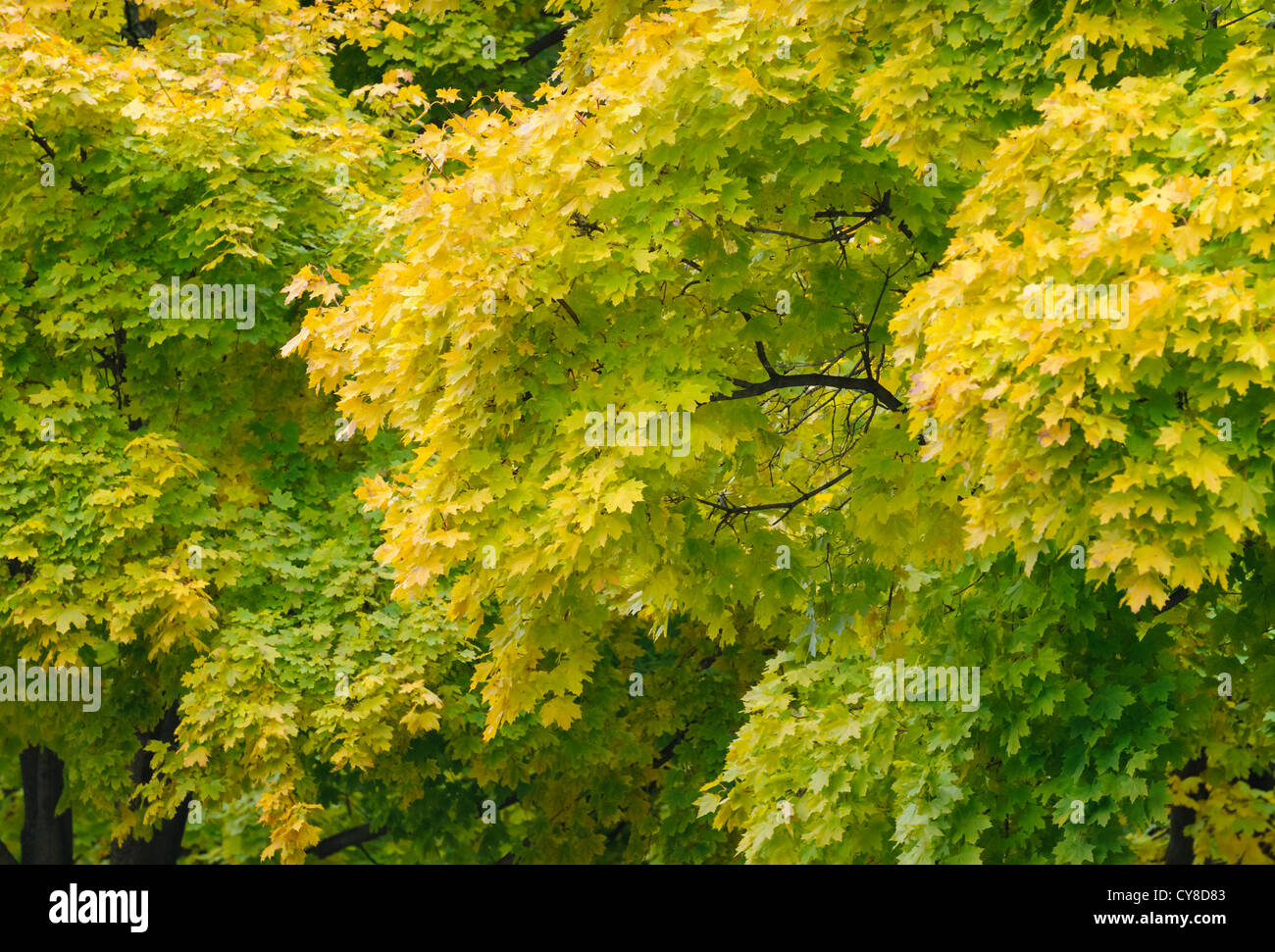 Maple trees, with yellow and green autumn leaves, beginning to turn ...
