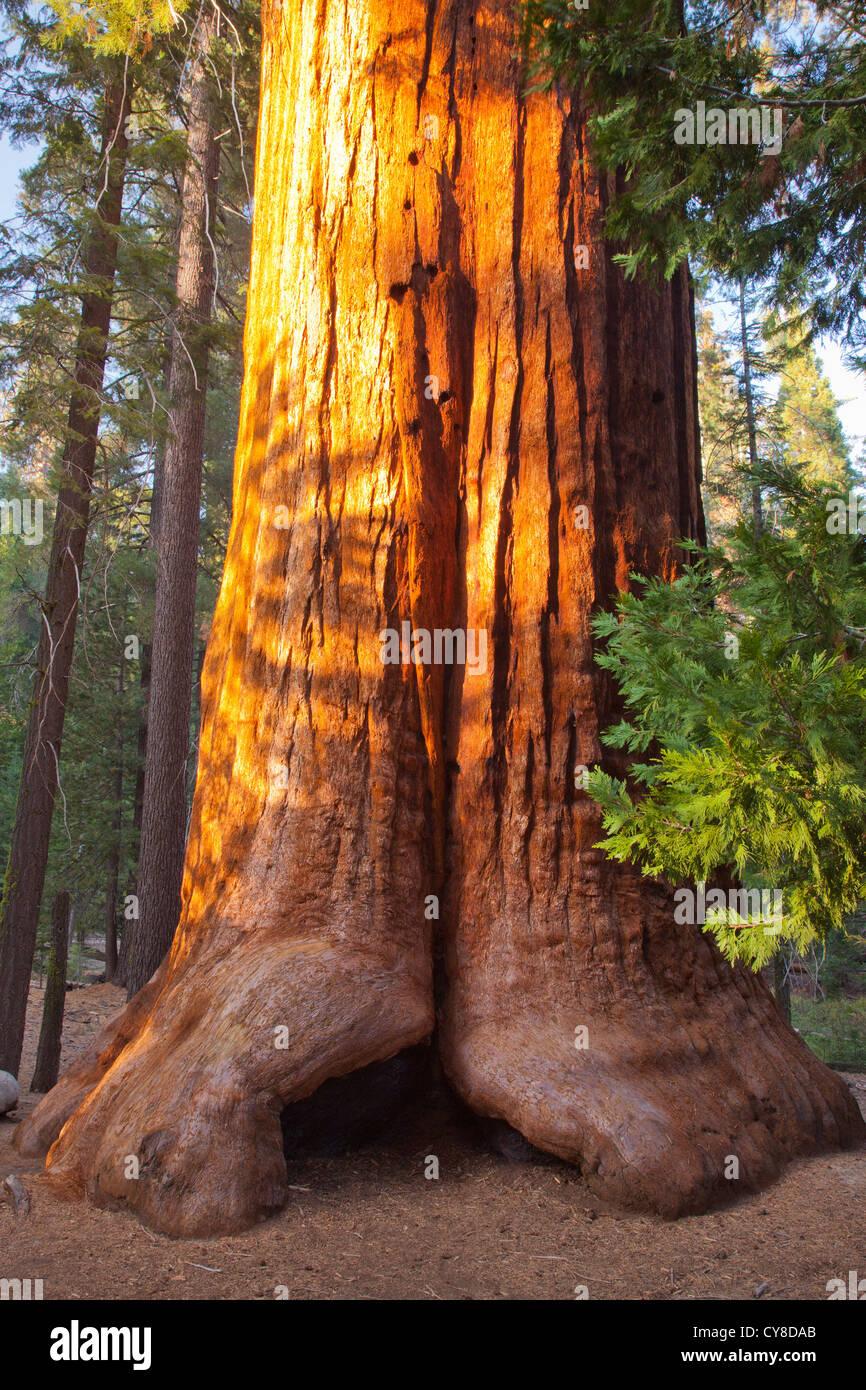 Giant Sequoia, Sequoiadendron giganteum, Long Meadow Grove - Stock Image
