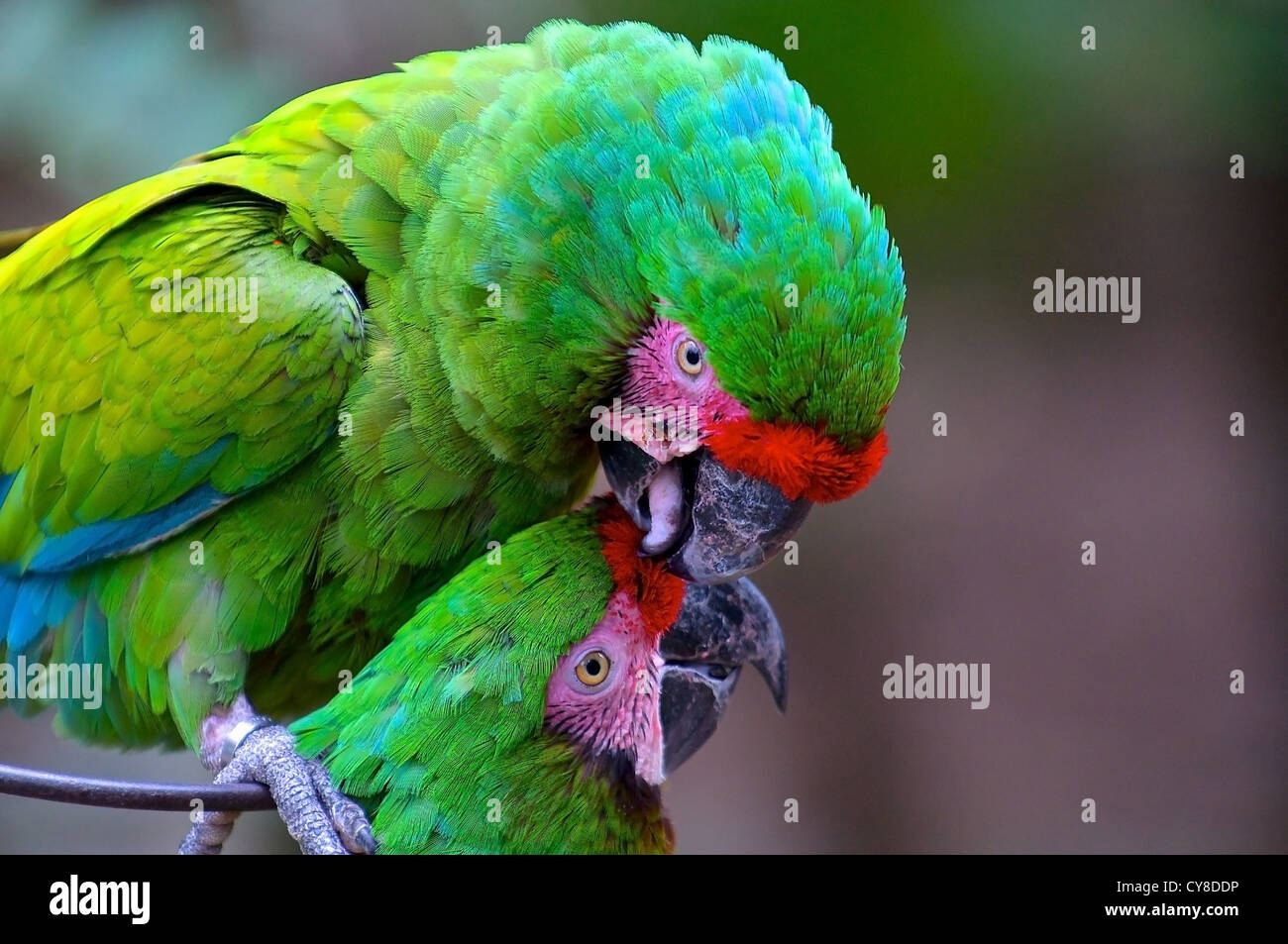 Preening green macaws - Stock Image