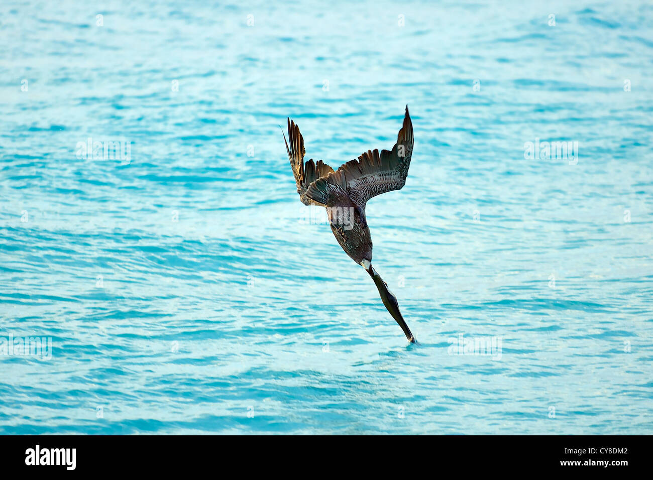 Diving Brown Pelican plunging into water after fish - Stock Image