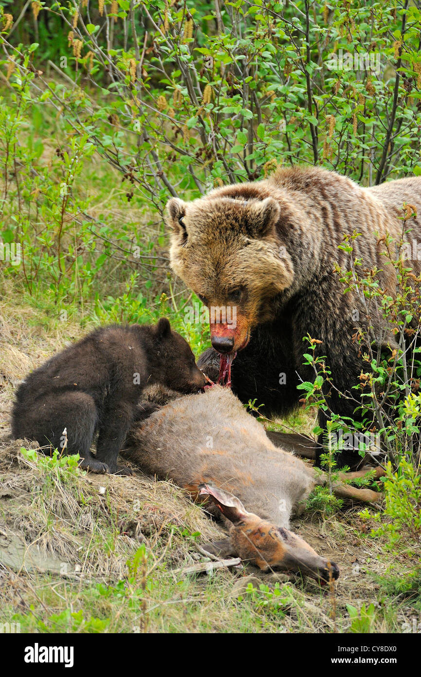 Mother and cub grizzly bears feeding on a road killed ...