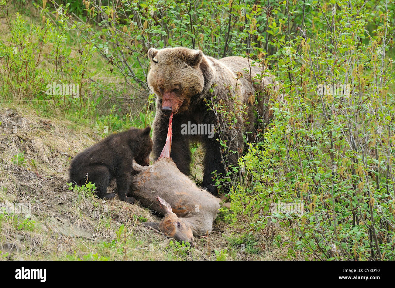 A Mother Grizzly Bear Shows Her Young Cub How To Feed On A Dead Deer