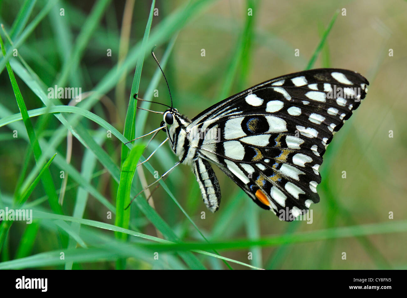 Lime Butterfly in Grass Stock Photo