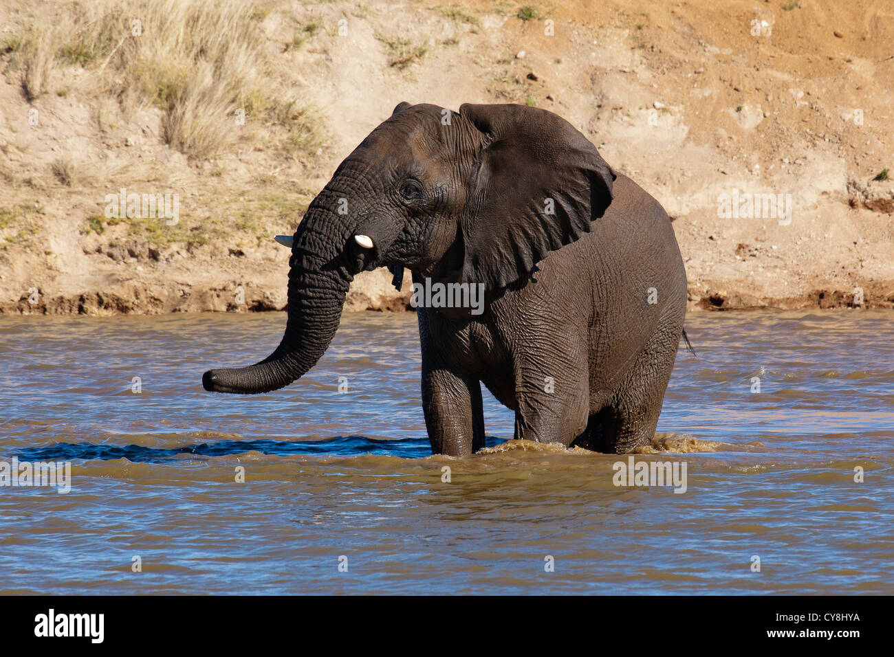 Elephant bull in Waterhole at Erindi Private Game Reserve Namibia - Stock Image