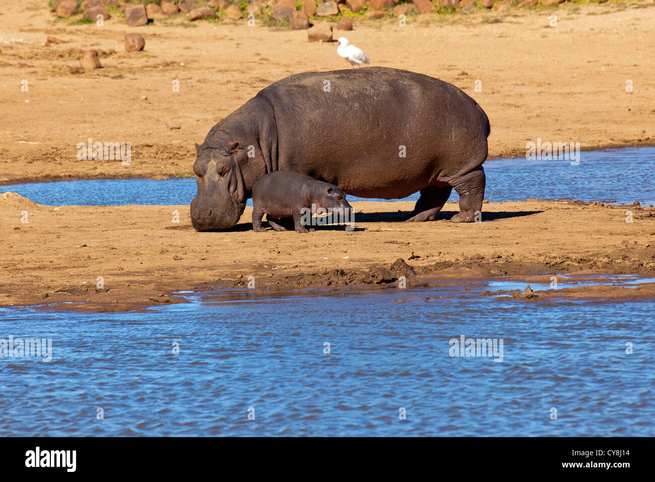 Hippo and calf at water hole in Erindi Private Game Reserve Namibia - Stock Image