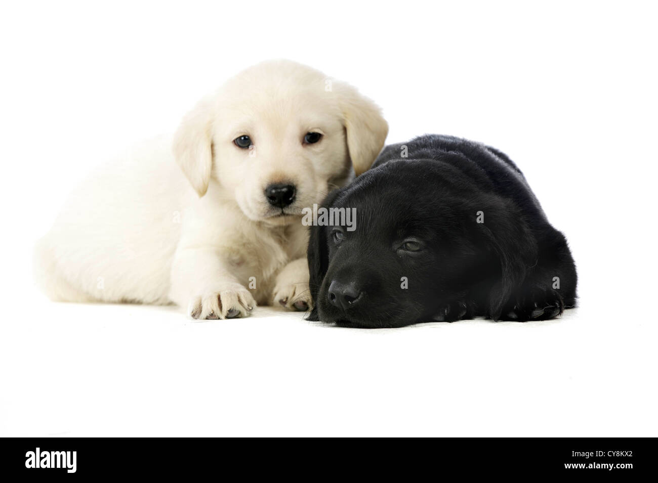 Golden And Black Labrador Puppies Isolated On A White Background