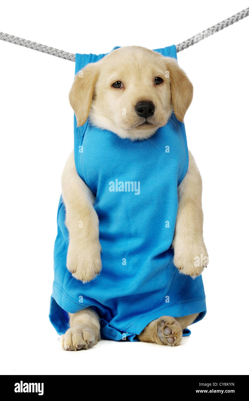Golden Labrador Puppy Hanging On A Washing Line Isolated On A White Stock Photo Alamy