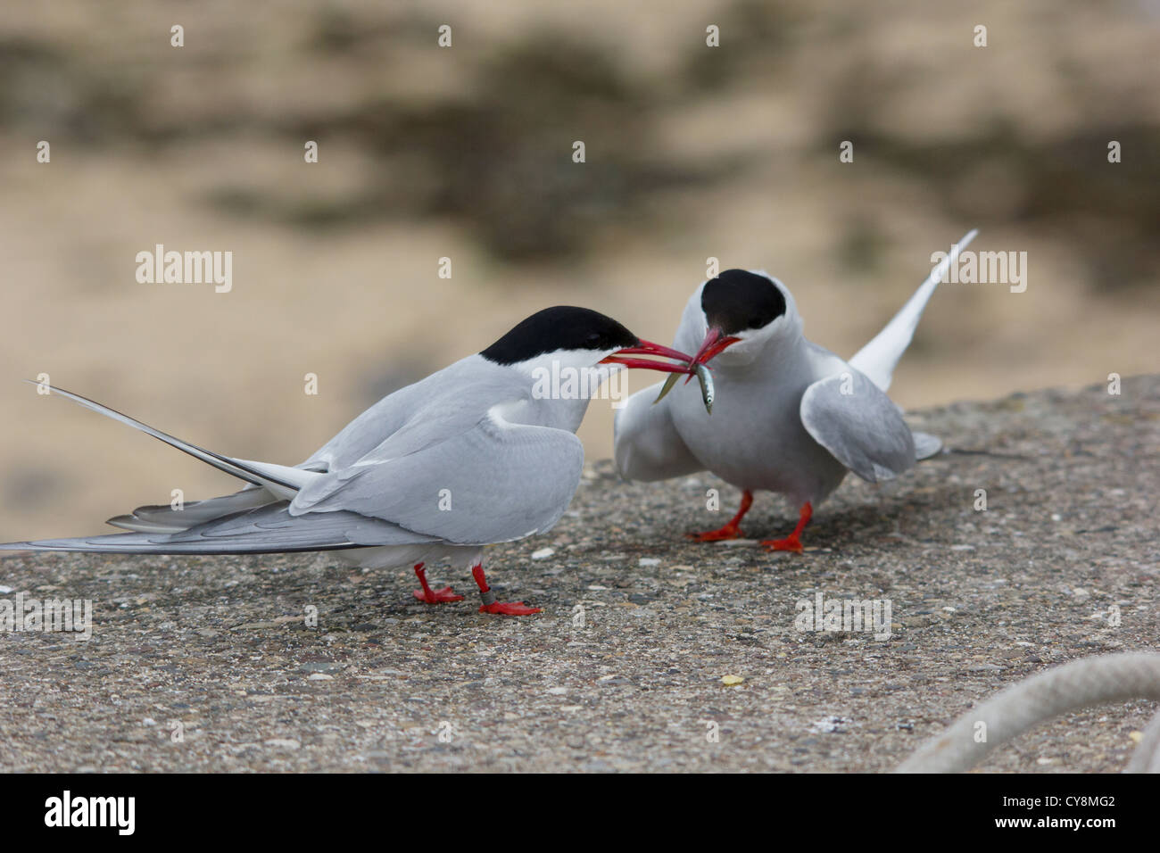 gmlh1207_4216 sterna paradisaea Arctic terns share a sand eel on the Farne Islands off Seahouse Northumberland United - Stock Image