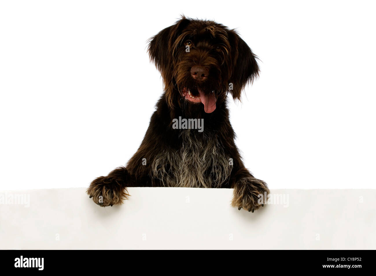 German Wire Hair Pointer Dog isolated on a white background - Stock Image