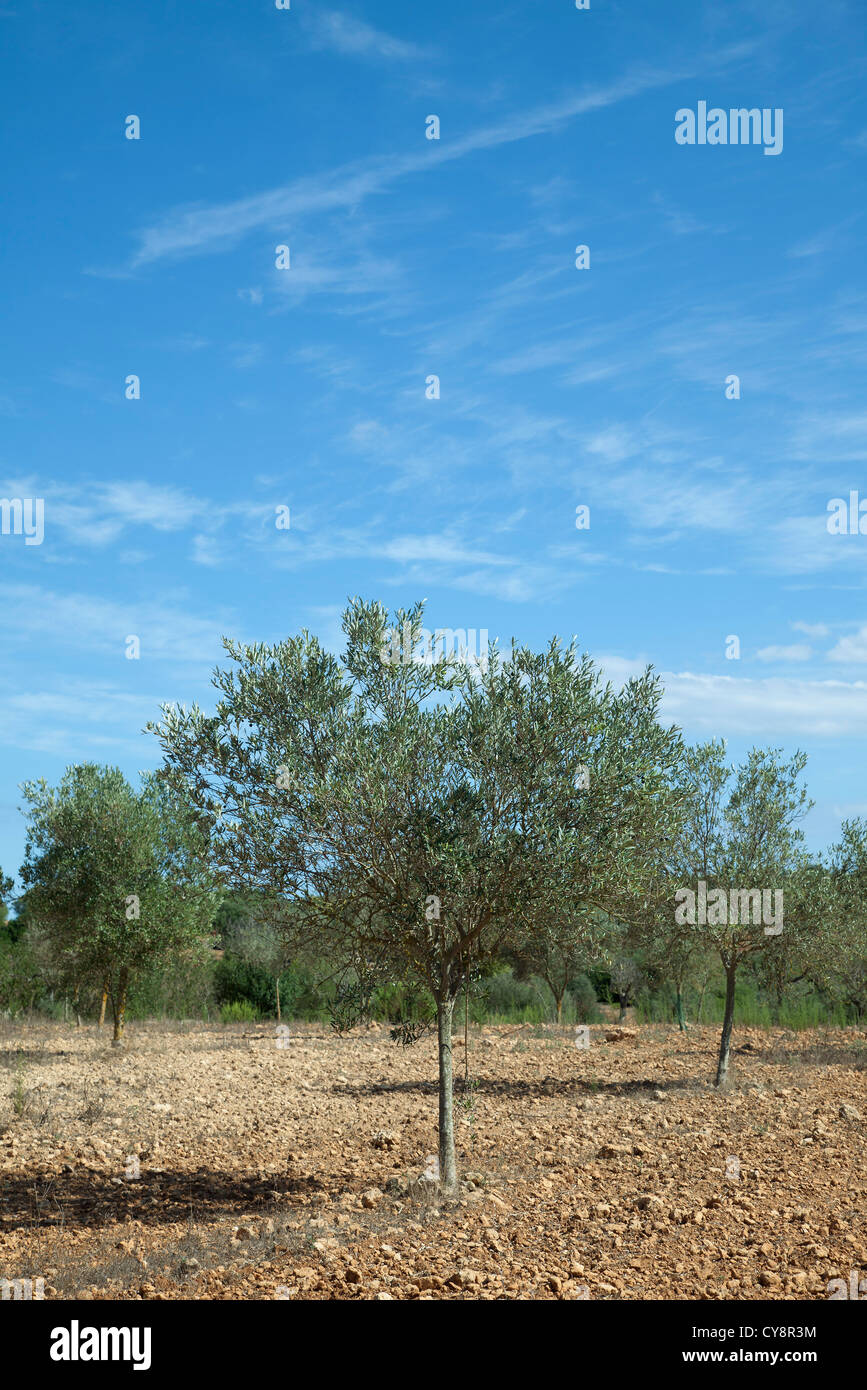 Tree growing in orchard - Stock Image