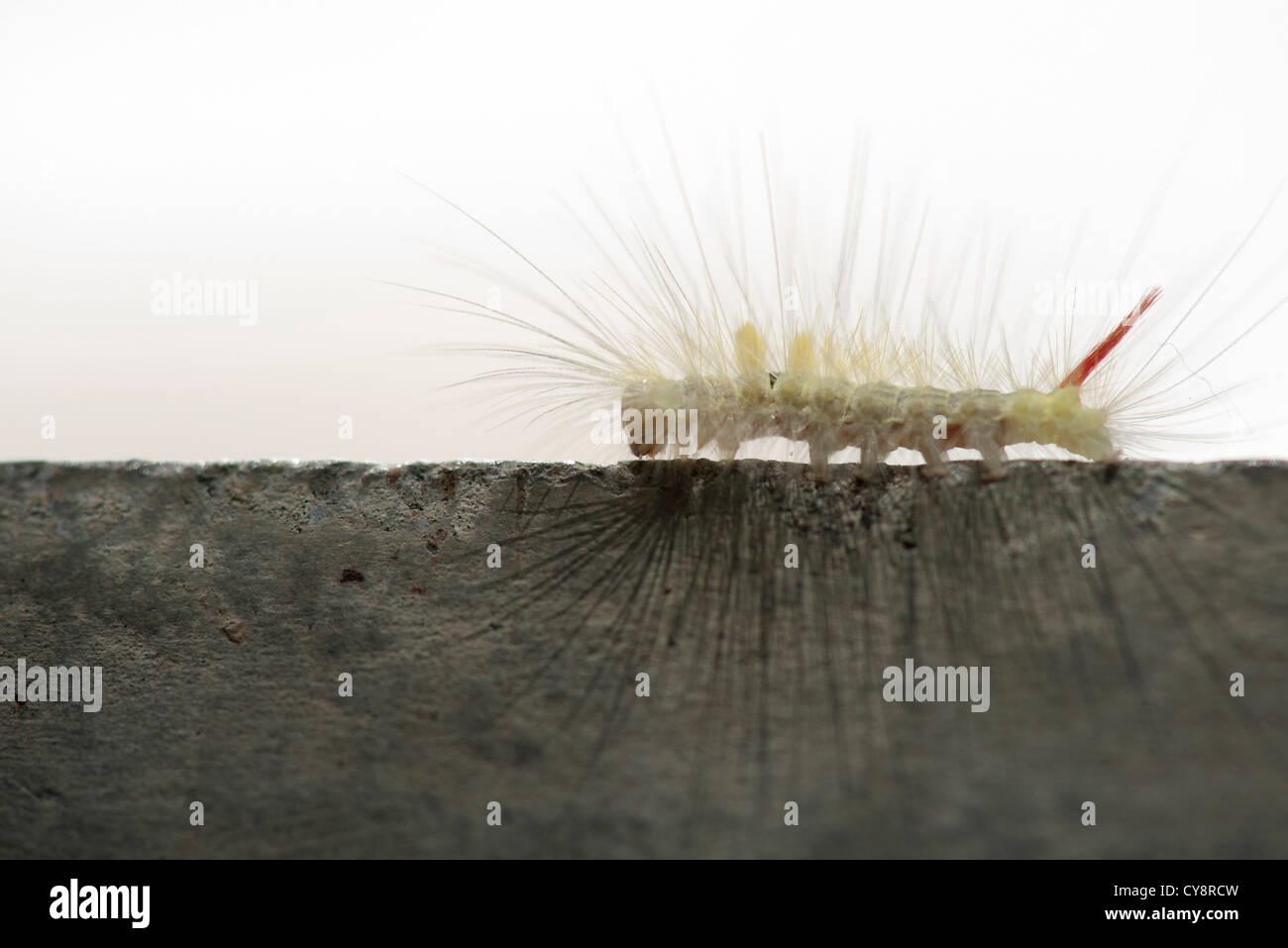 Fuzzy caterpillar - Stock Image