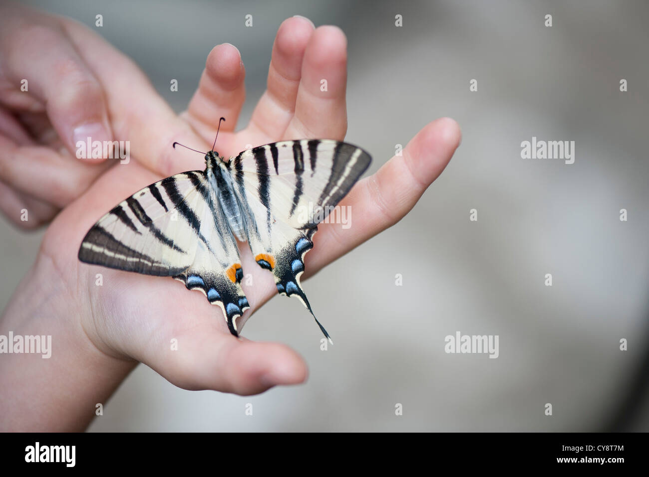 Child holding zebra swallowtail butterfly in palm, cropped - Stock Image