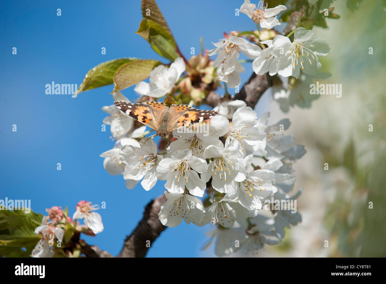 Butterfly on cherry blossom - Stock Image
