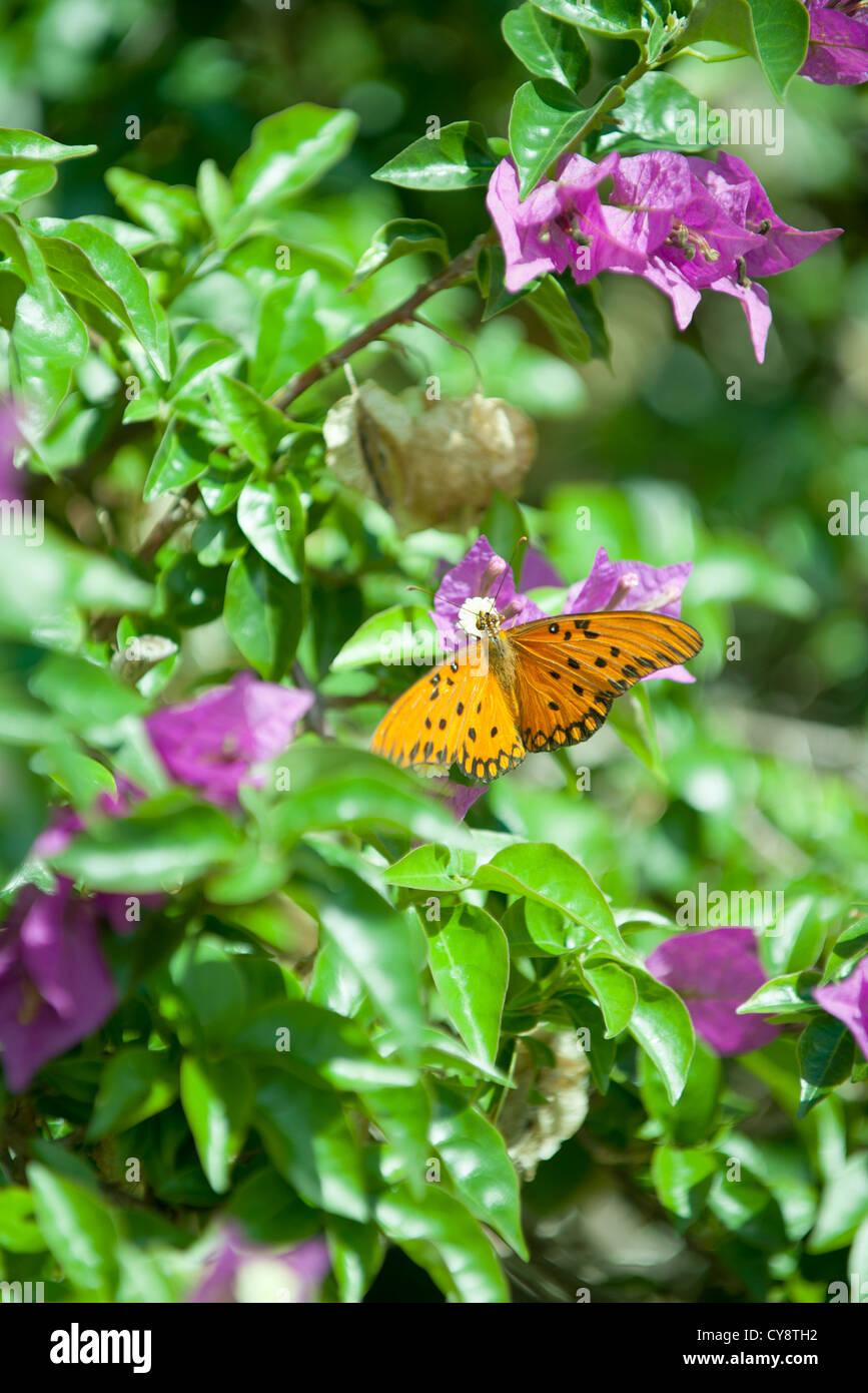 Gulf fritillary butterfly on flower - Stock Image