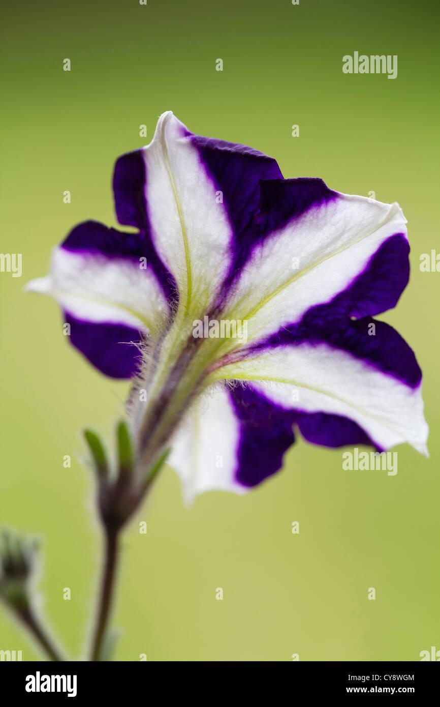 Petunia cultivar, Petunia. - Stock Image