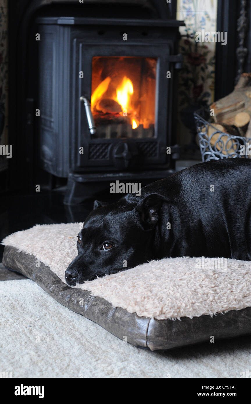 black staffie dog lying in front of wood burning fire - Stock Image