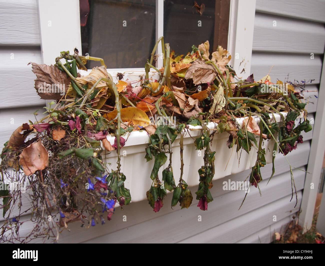 Dead plants in a window planter - Stock Image