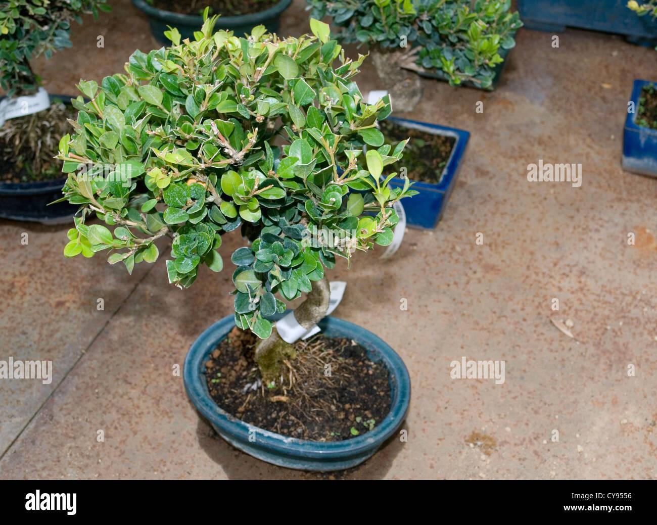 Buxus Sempervirens Bonsai Tree Stock Photo Alamy