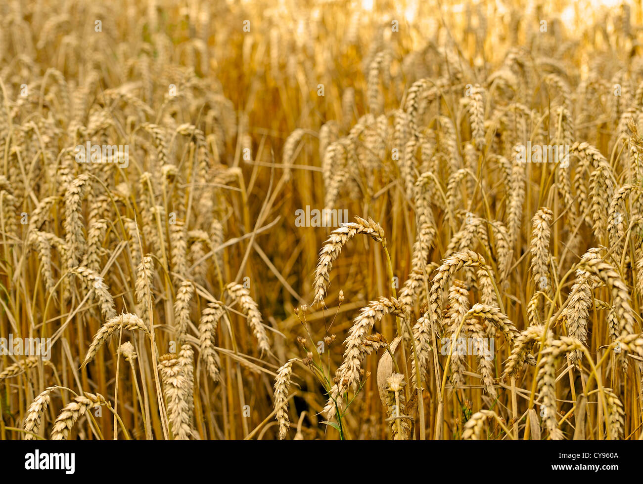 A FIELD OF WHEAT GROWING - Stock Image