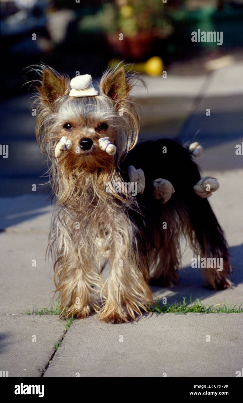 Yorkshire Terrier Groomed For Dog Show England Stock Photo