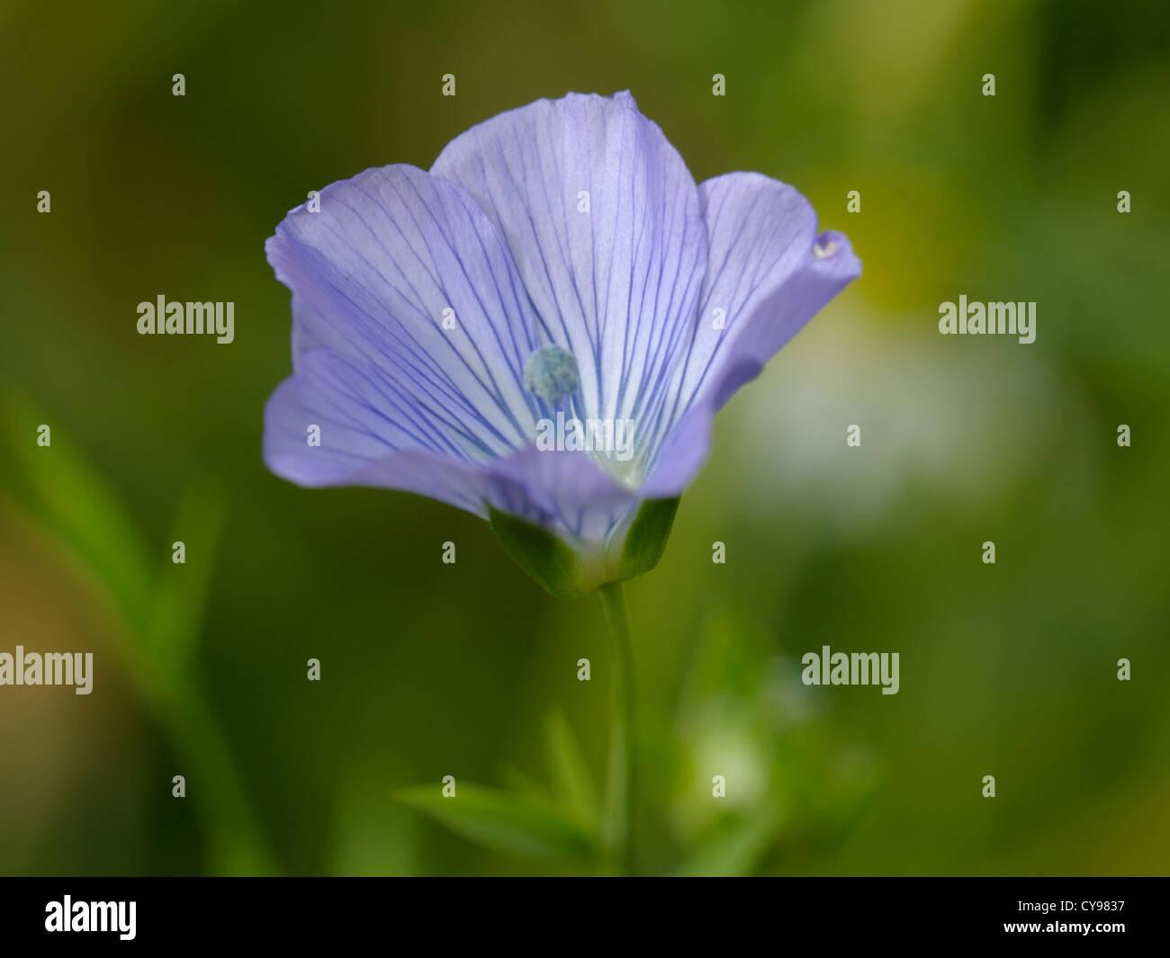 Flax Flower, Linum usitatissimum - Stock Image