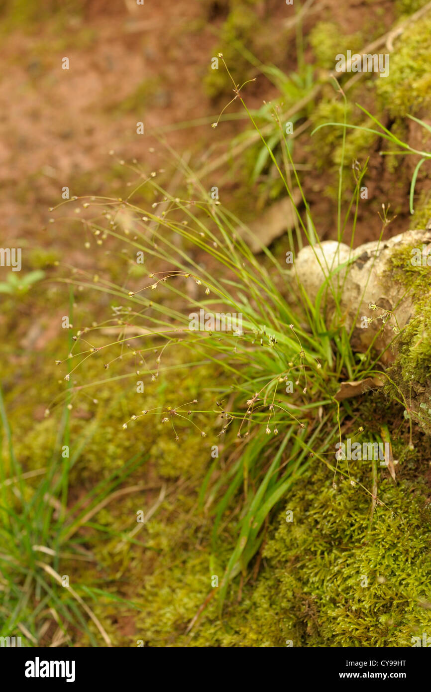 Hairy Wood-rush, Luzula pilosa - Stock Image