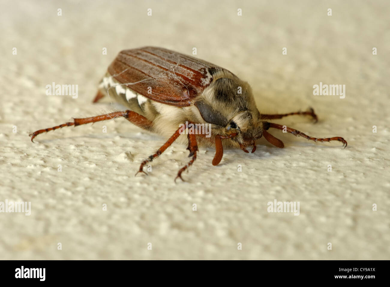 Cockchafer or May Bug, Melolontha melolontha Stock Photo