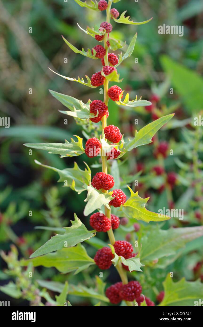 Leafy goosefoot (Blitum virgatum syn. Chenopodium foliosum) - Stock Image