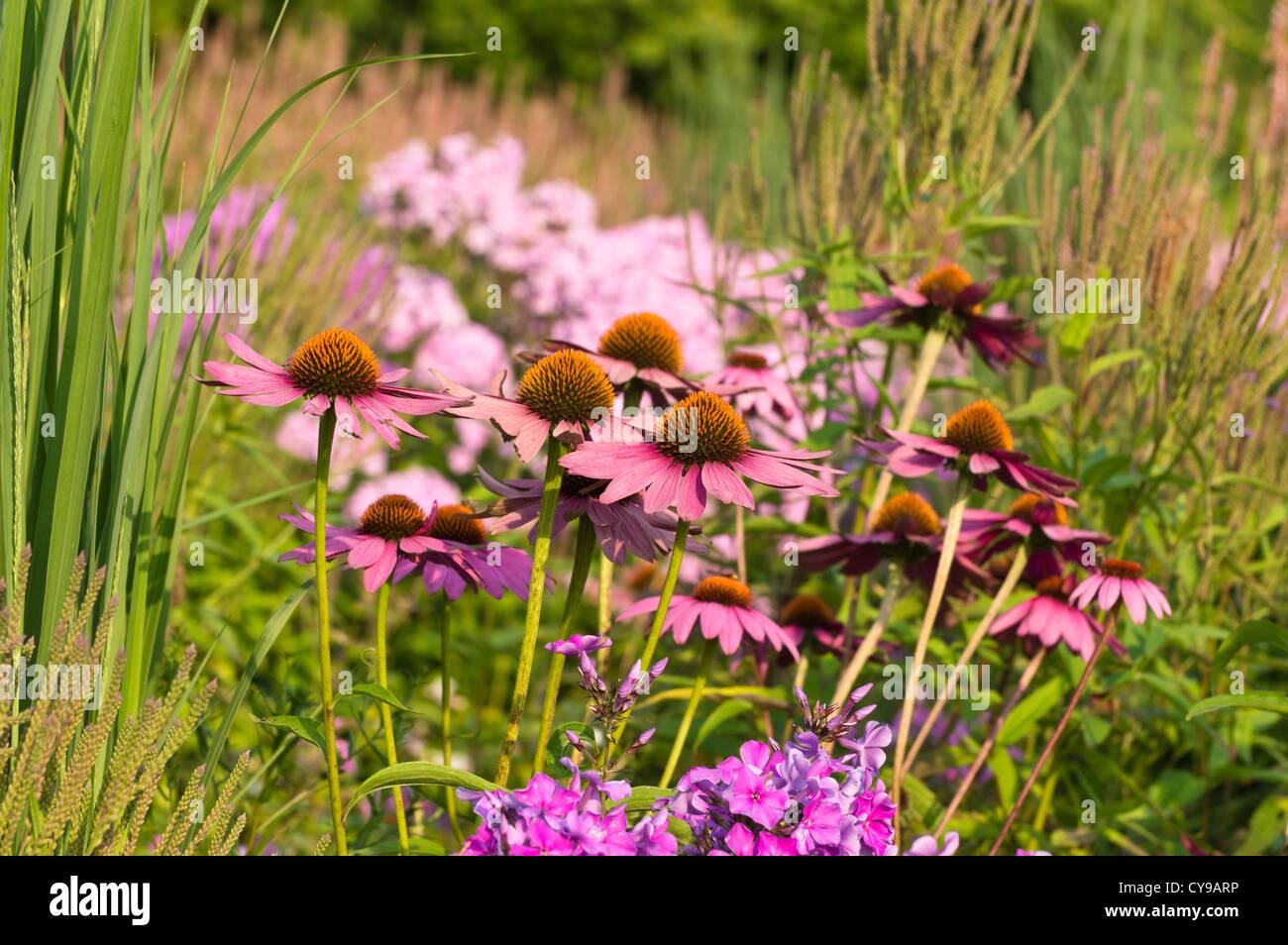 Purple cone flower (Echinacea purpurea 'Rubinstern') - Stock Image