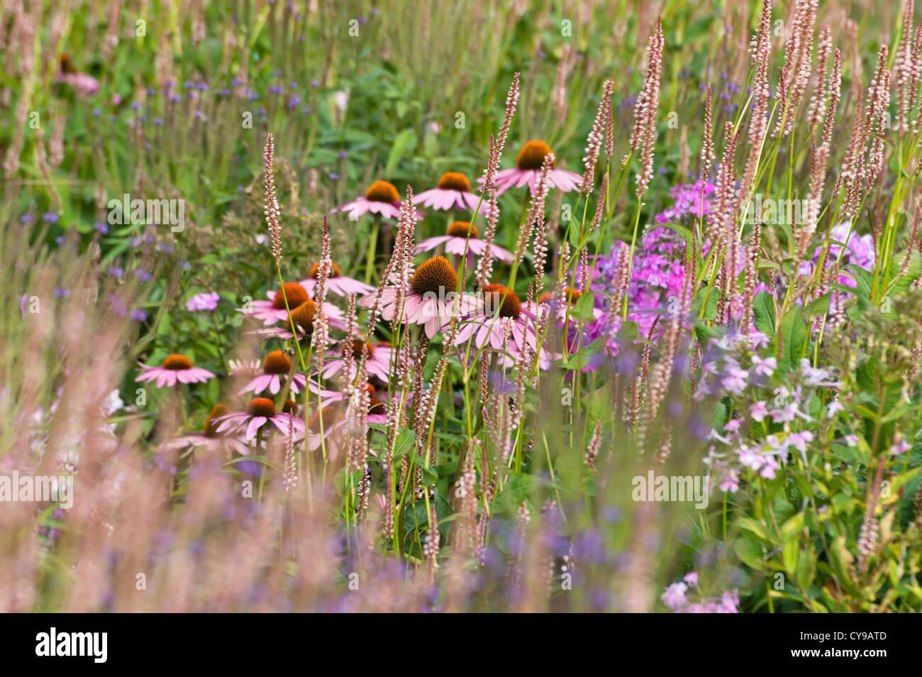 Purple cone flower (Echinacea purpurea 'Rubinstern') and mountain fleece (Bistorta amplexicaulis 'Rosea' - Stock Image