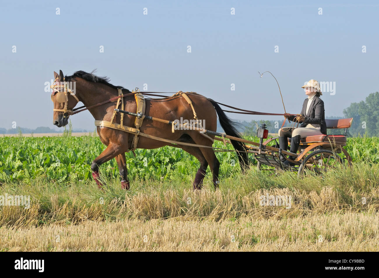 American Standard Bred horse drawing a gig made 1920 in Mailand - Stock Image